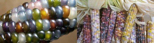 съедобная кукуруза - гибрид нескольких видов..jpg